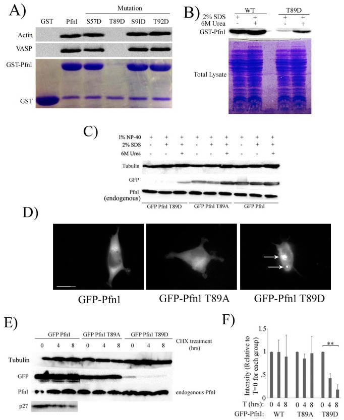 Effect of site-specific phosphorylation on biochemical characteristics of Pfn1. A) Pull-down assays of indicated GST-tagged Pfn1 constructs with HEK-293 cell lysate were run on an SDS-PAGE and immunoblotted with anti-actin and anti-VASP antibodies (GST was used as a negative control). <t>Coomassie</t> stain in parallel confirms comparable amounts of GST-tagged proteins in the pull-down assay. Note that virtually negligible amount of T89D-Pfn1 was found to be immobilized on glutathione-linked agarose beads. B) Bacteria expressing indicated GST-tagged Pfn1 constructs were lysed with either non-denaturing (containing 1% NP-40) or denaturing (containing 1% NP-40, 2% SDS for one buffer and the other with 6M urea in addition) extraction buffers. Bacterial lysates were immunoblotted with anti-Pfn1 antibody to demonstrate that T89D-Pfn1 is insoluble in non-denaturing lysis buffer. C) HEK-293 cells expressing indicated EGFP-fused Pfn1 constructs were lysed with either non-denaturing (containing 1% NP-40) or denaturing (containing 1% NP-40, 2% SDS for one buffer and the other with 6M urea in addition) extraction buffers. HEK-293 lysates were immunoblotted with anti-GFP antibody to demonstrate that GFP-T89D-Pfn1 is also insoluble in non-denaturing lysis buffer. Note that endogenous Pfn1 level is not affected by expression of any of the ectopic Pfn1 constructs and extractable completely in non-denaturing lysis buffer. D) Fluorescence images of HEK-293 cells expressing indicated EGFP-fused Pfn1 constructs show that EGFP-Pfn1-T89D causes clustering of this fusion protein as indicated by the arrows. Scale bar represents 20 μm. E) HEK-293 cells expressing indicated EGFP-fused Pfn1 constructs were treated with CHX for up to 8 hours. Cell lysates prepared at different time-points after CHX addition were immunoblotted with the indicated antibodies. T89D-Pfn1 undergoes rapid protein degradation while WT- and T89A-Pfn1 are stable over that period of time, similar to the characteristic of endogenous Pfn1 (degradation of p27kip1, a cell-cycle protein that undergoes rapid turnover, validates CHX efficacy). Tubulin blot serves as the loading control. F) The bar graph summarizes quantification of the time-dependent changes in the expression of the indicated GFP-Pfn1 constructs following CHX treatment in HEK-293. Data was summarized from 3 independent experiments (** indicates p