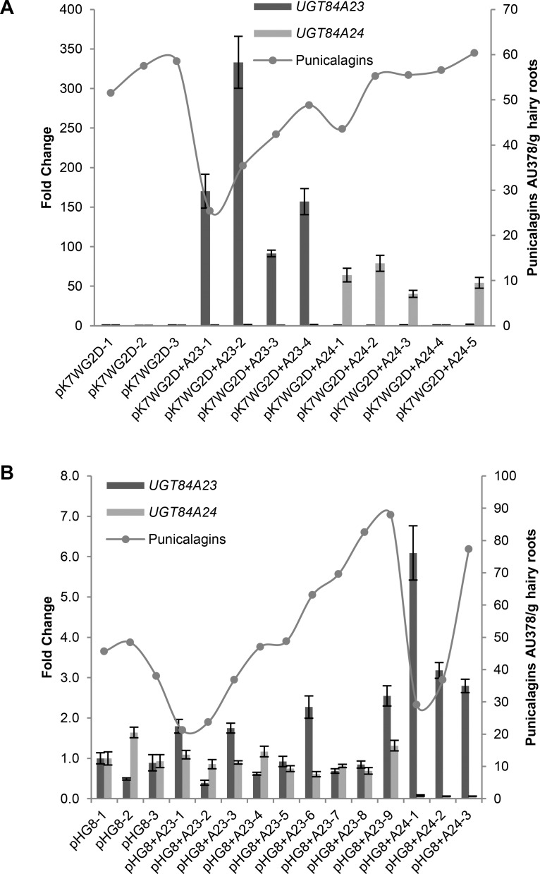 Gene expression and punicalagin accumulation in overexpression (A) and RNAi knockdown (B) hairy root lines of UGT84A23 or UGT84A24 . Changes in gene expression are represented on the primary y-axis as fold change relative to the vector transformed control, pK7WG2D-1 for overexpression lines and pHG8-1 for RNAi knockdown lines. Gene expression data presented are mean ± SD of three technical replicates for each line. Punicalagin accumulation (α and β isomers combined) is represented on the secondary y-axis as peak areas at 378 nm.