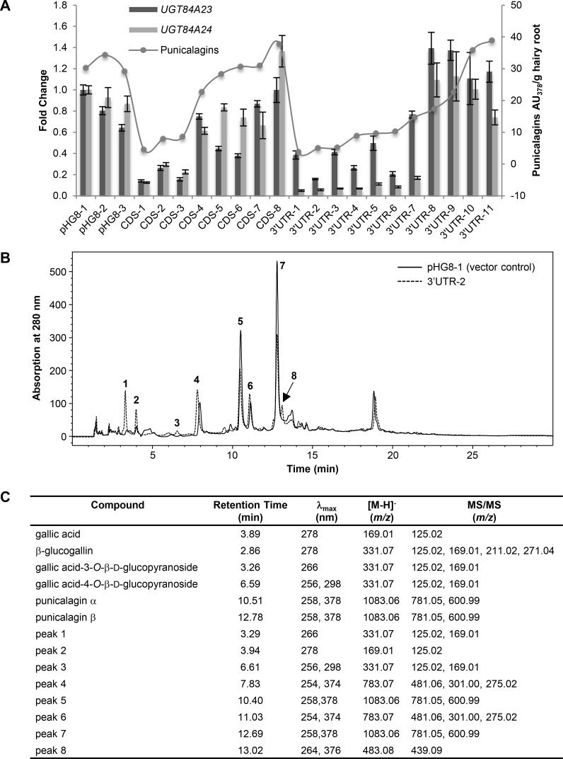 Reduced punicalagin accumulation and increased galloyl glucoside production in UGT84A23 and UGT84A24 double RNAi knockdown hairy root lines. (A) Gene expression and punicalagin accumulation in vector control and UGT84A23 and UGT84A24 double RNAi knockdown lines. Changes in gene expression are represented on the primary y-axis as fold change relative to the vector control pHG8-1. Gene expression data presented are mean ± SD of three technical replicates for each line. Punicalagin accumulation (α and β isomers combined) is represented on the secondary y-axis as peak areas at 378 nm. The RNAi constructs were derived from a chimera of the coding sequences (CDS) or the 3' untranslated region (3' UTR) of UGT84A23 and UGT84A24 . (B) Overlay of HPLC chromatograms from a representative vector transformed control (pHG8-1) and a representative double knockdown line of UGT84A23 and UGT84A24 (3' UTR-2). Peaks that are only present in the double knockdown lines and those that show varied accumulation in vector control and double knockdown lines are indicated. (C) MS and MS/MS analyses of peaks indicated in (B). HPLC retention times and λ max of standards and the respective peaks in the 3' UTR-2 hairy root line are also shown.