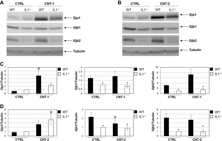 Gja1, Gjb1 and Gjb2 protein levels in IL1-WT or IL1-KO cells after exposure to dispersion media alone, CNT-1 or CNT-2. a Representative western blots for Gja1, Gjb1 and Gjb2 after exposure to CNT-1. b Representative western blots for Gja1, Gjb1 and Gjb2 after exposure to CNT-2. Tubulin was used as a loading control. c Quantification of Gja1, Gjb1 and Gjb2 protein levels normalized to tubulin after exposure to CNT-1. d Quantification after exposure to CNT-2. For the bar graphs the values represent the mean ± standard error (SE) of three independent experiments. * P