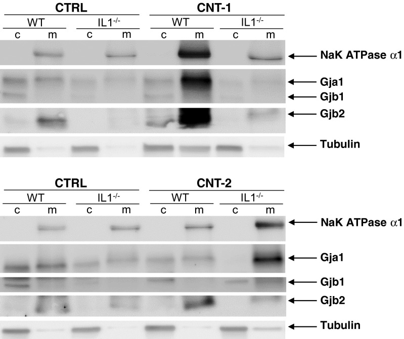 Localization of Gja1, Gjb1 and Gjb2 protein after CNT exposure. Cytosolic ( c ) and integral membrane/membrane-associated ( m ) proteins were separated into two fractions. Western blot analysis was used to investigate the localization of Gja1, Gjb1 and Gjb2. Antibodies against NaK ATPase α1 and α-Tubulin were used to detect the membrane and cytosolic fractions, respectively. The images shown are representative of two independent experiments