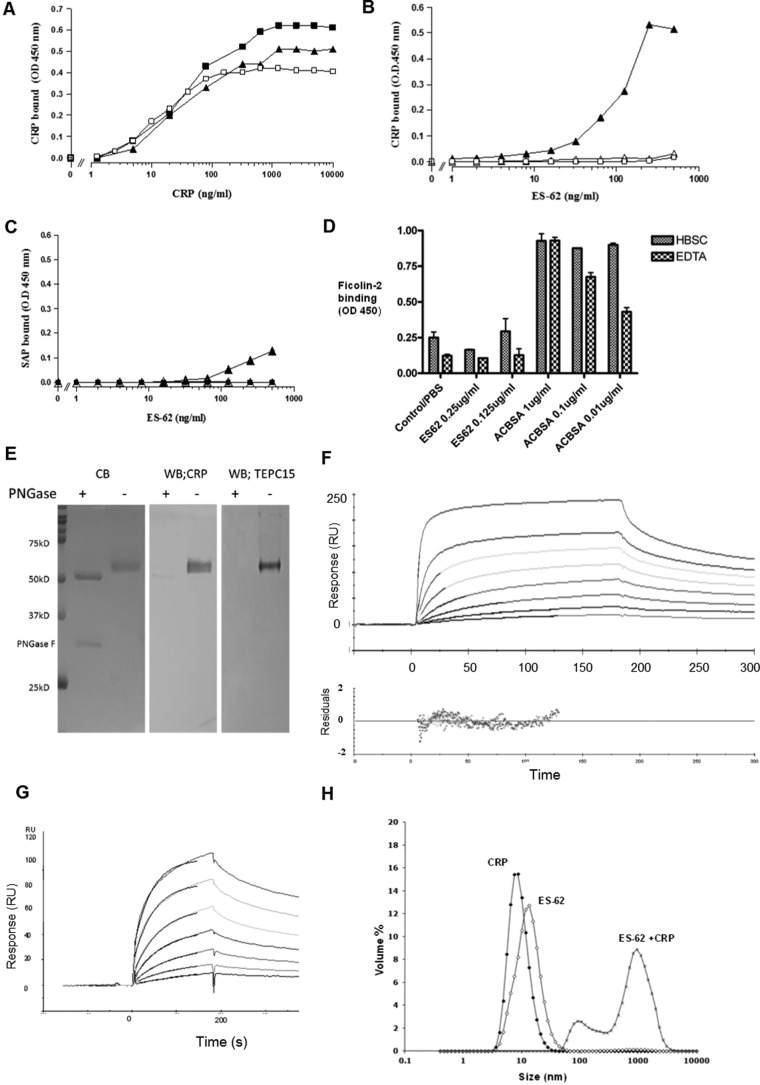 High-avidity binding of C-reactive protein to ES-62 is calcium-dependent and can be inhibited by PCh. A , dose response of binding of purified CRP to immobilized ES-62 (2.0 μg/ml, ■), PCh-BSA (0.5 μg/ml, ▴), or CWPS (5 μg/ml, □) on microtiter plates. Various concentrations of CRP were offered, and binding of CRP was detected using polyclonal anti-human CRP-HRP. OD , optical density. B , CRP binding from ES-62 is calcium-dependent and can be inhibited by PCh. Various concentrations of ES-62 were coated onto microtiter plates, and normal serum diluted 1 in 50 to give a final CRP concentration of 50 ng/ml was added. Binding of CRP was detected with the anti-native human CRP monoclonal antibody 2C10 and anti-mouse IgG HRP and 1,1,3,3 tetramethylbenzidine substrate (optical density, 450 nm). Serum was diluted in HBS containing 1 m m CaCl 2 (▴), HBS with 10 m m EDTA (▵), or HBS with 1 m m CaCl 2 and 50 m m phosphorylcholine (□). C , SAP provided in serum diluted 1 in 50 binds weakly to ES-62 (▴) but not PCh-BSA-coated plates (■). SAP was determined using monoclonal anti-SAP and anti-mouse IgG HRP. Controls show binding to ES-62 in the presence of EDTA (▵). D , plates were coated with ES-62 or the positive control acetylated BSA ( ACBSA ) at various concentrations, serum was added in the presence or absence of calcium, and binding was detected with biotinylated anti-ficolin 2 and streptavidin HRP. Data are mean ± S.E. of triplicates. E , ligand blotting of ES-62 following SDS-PAGE demonstrates binding of C-reactive protein to PCh attached to N -linked glycan. Left panel , ES-62 or ES-62 deglycosylated with PNGase stained directly with Coomassie Blue ( CB ). Center panel , ES-62 was transferred to PVDF, and CRP binding in TBSC was detected with anti-CRP and anti-mouse-alkaline phosphatase. Right panel , as for the center panel , but PCh was detected with anti-PCh myeloma protein, TEPC15. WB , Western blotting. F , surface plasmon resonance analysis of interaction. ES-62 was