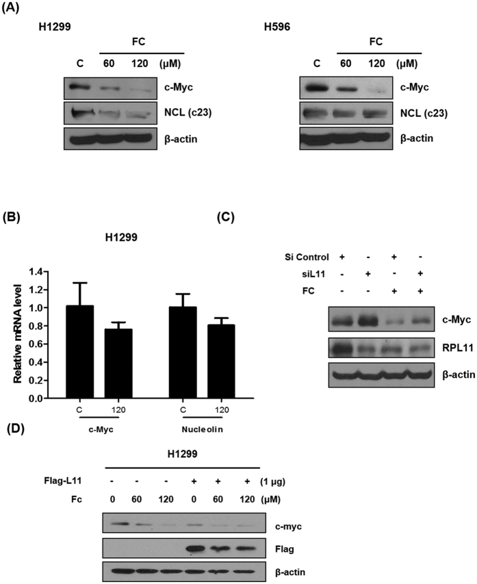 FC regulates c-Myc and L11 through a negative feedback mechanism. ( A ) FC downregulates c-Myc and NCL (C23) in H1299 and H596 cells by Western blotting. ( B ) FC attenuates mRNA expression of c-Myc and NCL in H1299 cells. H1299 cells were treated with FC for 24 h. RNA was isolated and analsis was performed to detect mRNA of c-Myc and NCL by qRT-PCR. ( C ) L11 knockdown activates c-Myc expression in H1299 cells. H1299 cells were transfected with L11 siRNA oligonucleotide (40 nM) for 48 h and then treated with FC for 24 h. Cells were prepared and subjected to Western blotting for c-Myc and L11. ( D ) FC downregulates c-Myc and L11 in Flag tagged L11 overexpression vector transfected H1299 cells. H1299 cells were transfected with Flag tagged L11 vector (1 μg) for 48 h and then treated with FC (0, 60, or 120 μM) for 24 h. Cells were prepared and subjected to Western blotting for c-Myc and L11.