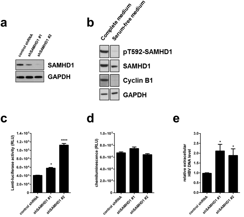 Silencing of SAMHD1 increases HBV replication in resting HepG2.2.15 cells. ( a ) SAMHD1 or actin protein levels were detected in cell lysates from SAMHD1 knockdown or control HepG2.2.15 cells by Western blotting. ( b ) Phosphorylation on residue T592 of SAMHD1 and cyclin B1 expression were detected by Western blotting of lysates from control shRNA HepG2.2.15 cells cultured for 3 days in complete versus serum-free medium. ( c-e ) HepG2.2.15 cells stably expressing two different SAMHD1 shRNAs or a control shRNA were cultured in serum-free medium for 3 days. ( c ) Luciferase activity (relative luciferase units, RLU) was detected in cells 24 hours post infection with a single-round HIV-1-based lentiviral vector that encoded luciferase. ( d ) Equal cell growth and viability between different shRNA cell lines was assessed using ATPLite. ( e ) The amount of HBV DNA in the supernatant was determined by qPCR and normalized to the control shRNA. In ( c , d ), the mean ± standard error mean (SEM) of three biological replicates of one representative experiment is depicted. In ( e ), the fold-changes to negative control were calculated for each individual experiment based on the median of three biological replicates, each measured in three technical replicates. The mean ± SEM of the fold-changes of four independent experiments is depicted. Statistical significance was determined using a one-way ANOVA with multiple comparisons according to Dunnett (*p