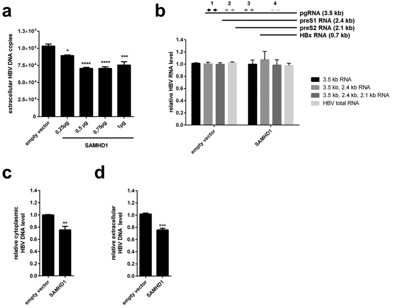Overexpression of SAMHD1 reduces extracellular and intracellular levels of HBV DNA in HepG2.2.15 cells without affecting viral <t>RNA.</t> HepG2.2.15 cells were transfected with ( a ) increasing amounts or ( b – d ) 1 μg of a SAMHD1-coding plasmid. The total amount of plasmid DNA was adjusted to 1 μg by addition of empty vector. Twenty-four hours after transfection, the cells were washed with phosphate-buffered saline (PBS) and further cultured in serum-free medium without supplements. Forty-eight hours later, HBV DNA from the supernatant ( a , d ) and intracellular HBV DNA from cytoplasmic fractions ( c ) were quantified by qPCR. ( b ) The levels of intracellular HBV <t>RNAs</t> were determined by RT-qPCR using primer sets that amplify the indicated HBV RNAs (3.5 kb; 3.5 kb and 2.4 kb; 3.5 kb, 2.4 kb and 2.1 kb, or all four HBV RNAs). ( a ) The mean ± SEM of the technical triplicates is shown. Statistical significance was determined using a one-way ANOVA with multiple comparisons according to Dunnett (*p