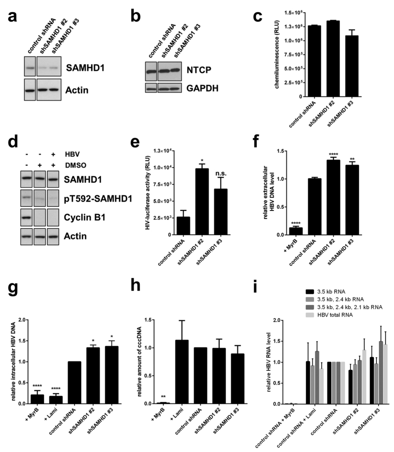 SAMHD1 restricts HBV replication in infected HepG2-NTCP cells. Detection of ( a ) SAMHD1 or ( b ) NTCP in SAMHD1 knockdown or control HepG2-NTCP cells by Western blotting. Actin or GAPDH were used as loading controls. ( c ) Equal cell growth and viability was assessed was assessed using ATPLite. Depicted are mean values (±SEM) of three biological replicates of one representative experiment out of three. ( d ) Control shRNA cells were cultured for 10 days in complete medium supplemented (+) or not (−) with 2.5% DMSO. When indicated cells were infected with HBV 48 hours after start of DMSO treatment. Phosphorylation at residue T592 in SAMHD1, as well as expression of total SAMHD1, cyclin B1 and actin, were detected by Western blotting. ( e ) Cells were cultured for 10 days in 2.5% DMSO-containing medium and infected with a single-round luciferase HIV-1 virus. Luciferase activity was detected 24 hours post infection. Depicted are mean values (±SEM) of three biological replicates of one representative experiment out of three. ( f-i ) Cells were infected with HBV inoculum, and where indicated, the entry inhibitor MyrcludexB (MyrB, 200 nM), or the reverse transcription inhibitor lamivudine (Lami, 0,5 μM) were added. Cells were cultured in medium containing 2.5% DMSO. Ten days post infection, HBV DNA from the supernatant ( f ), intracellular total HBV DNA ( g ) and cccDNA ( h ) were quantified by qPCR. ( i ) The intracellular HBV RNAs levels were determined 10 days post infection by RT-qPCR using primer sets that amplify the indicated HBV RNAs (3.5 kb; 3.5 kb and 2.4 kb; 3.5 kb, 2.4 kb and 2.1 kb, or all four HBV RNAs). ( f ) For each individual experiment, fold-changes to the untreated control shRNA were calculated based on the median of three biological replicates, each measured in three technical replicates. The mean ± SEM of the fold-changes of three independent experiments is depicted. ( g – i ) For each independent experiment, fold-changes to untreated control shRNA were calculated based on the median of three technical replicates. The mean ± SEM of the fold-changes of at least 3 independent experiments is represented. ( f – i ) Statistical significance was determined using a one-way ANOVA with multiple comparisons according to Dunnett (*p