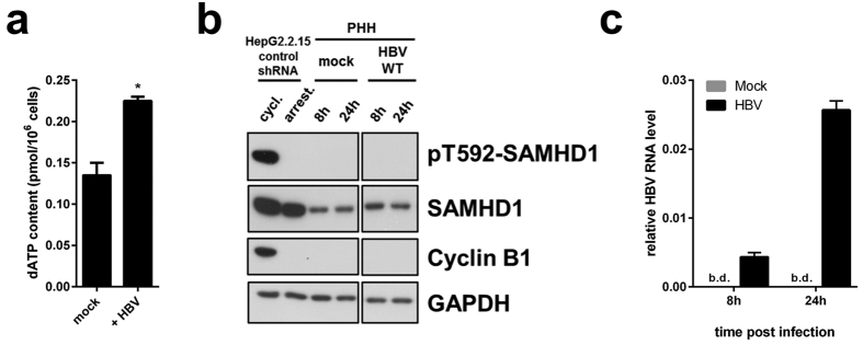 dATP levels are affected by HBV infection. SAMHD1 is de-phosphorylated at T592 in primary human hepatocytes, and is not affected by HBV infection. ( a ) HepG2-NTCP- control-shRNA cells were infected or not with HBV in presence of 2.5%DMSO and dATP content was measured 4 days post infection. The mean ± SEM of technical duplicates is represented. ( b , c ) Primary human hepatocytes (PHH) from one donnor were infected or not with HBV for 8 or 24 hours. ( b ) SAMHD1 phosphorylation on T592, total SAMHD1, cyclin B1 and GAPDH were detected by Western blotting. Cycling or serum starved HepG2.2.15-control-shRNA cells were used respectively as positive and negative controls for pT592-SAMHD1 and cyclin B1. A representative experiment out of two technical replicates is represented. ( c ) Levels of intracellular HBV RNAs from infected PHH used in ( b ) were determined by RT-qPCR using HBV primer set 3 (see Fig. 2b and Table 1 ; amplified HBV RNA species: 3.5 kb, 2.4 kb and 2.1 kb RNAs). B.d.: below detection. The mean ± SEM of technical triplicates is represented.