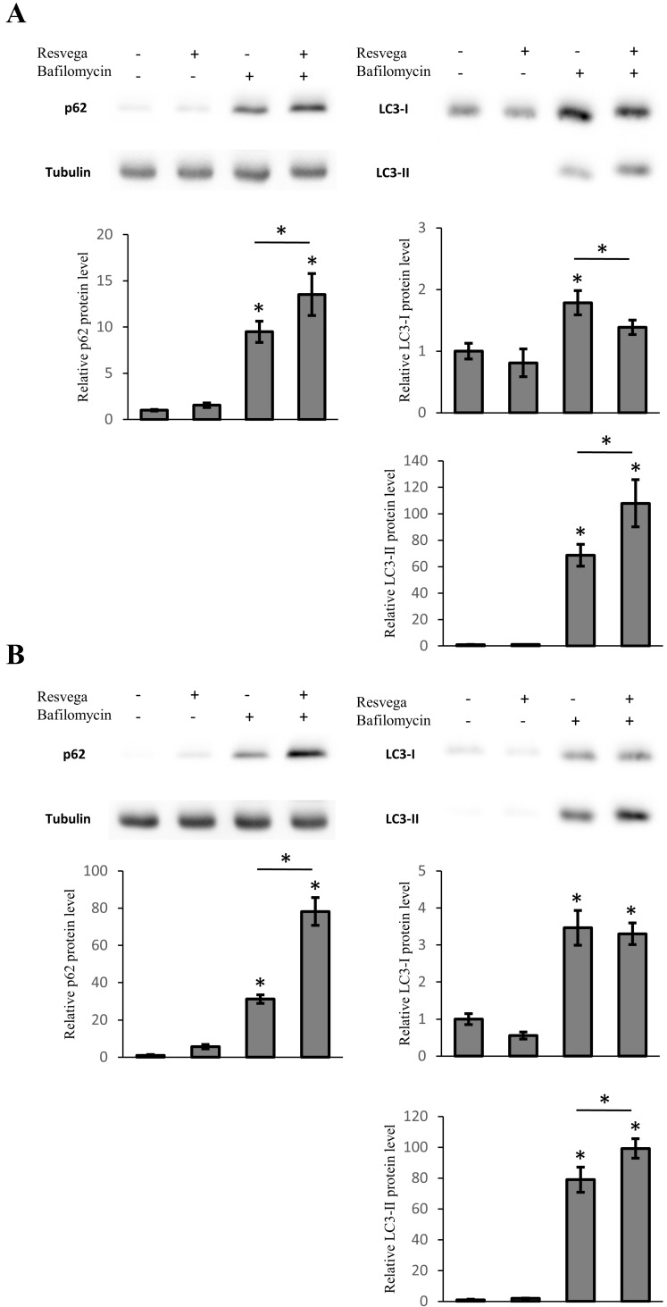 ARPE-19 cells were treated with 288 ng Resvega, 50 nM <t>bafilomycin</t> A1, or their combination for 12 h ( A ) in normal growth conditions and ( B ) a starvation-induced autophagy model. The protein level of p62 and LC3-I/LC3-II were analyzed by Western blot, while the expression was quantified in a comparison to α-tubulin and presented as a fold change compared to control. Western blotting data are shown as mean ± SD ( n = 3). * p