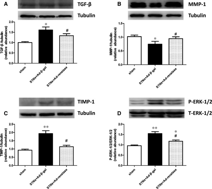 Ad‐renalase treatment normalized cardiac expression of pro‐fibrotic markers and phosphorylated  ERK ‐1/2 in  CKD  rats. Representative Western blot and quantification of  TGF ‐β ( A ),  MMP ‐1 ( B ),  TIMP ‐1 ( C ) and phosphorylated  ERK ‐1/2 ( D ) expression in left ventricle from three groups at week 6. All values are presented as means ± S.E.M. ( n  = 10). * P