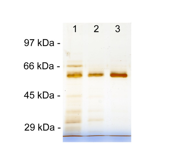SDS-PAGE analysis carried out to estimate contaminant removal obtained in each chromatographic step. Lane 1: HIC (Hydrophobic Interaction Chromatography) eluate; 2: IEC (Ion Exchange Chromatography) eluate; 3: GF (Gel Filtration) eluate.