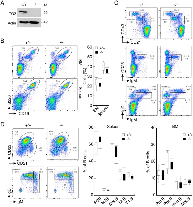 Transgelin-2-knockout mice exhibit normal B-cell development. (A) Expression of transgelin-2 in B-cells obtained from TAGLN2 +/+ (+/+) and TAGLN2 -/- (-/-) mice was determined by western blot analysis. M denotes molecular mass. (B) Single cell suspensions of bone marrow (BM) and spleen were tested for the presence of CD19 + and B220 + cells. The numbers in the dot plots indicate the percentage of CD19 + B220 + B-cells. The mean percentages of positive cells in BM and spleen are shown in the graph (right). (C) Single cell suspensions of BM from TAGLN2 +/+ and TAGLN2 -/- were assessed for the expression of CD43, CD21, CD25, IgM, and IgD by flow cytometry. The numbers in the dot plots indicate the percentage of B-cell subsets within the respective gates. The graph shows the average percentage of indicated B-cell development states in the BM cells (bottom). (D) Single cell suspensions of spleen from TAGLN2 +/+ and TAGLN2 -/- cells were pre-gated on B220, and expression of CD23, CD21, IgM, and IgD was assessed by flow cytometry. The numbers in the dot plots indicate the percentage of B-cell subsets within the respective gates. The graphs show the average percentage of the indicated B-cell subset in the B220 + B-cells gate (right). All dot plots are representative of two experiments with five mice, and the bar graphs are shown as means ± SD of two experiments with five mice each.