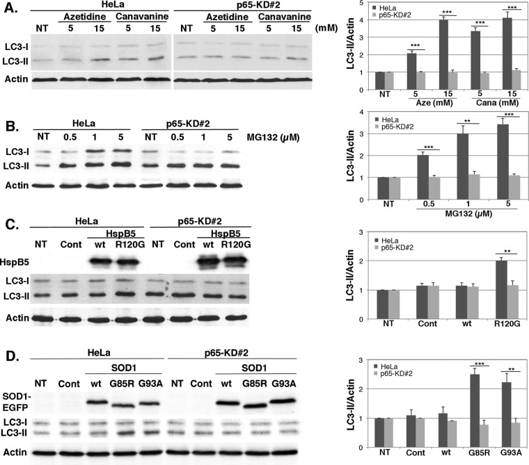 p65 depletion alters autophagy induction by protein aggregation stresses. Control (HeLa) and p65-depleted cell lines (p65-KD#2) were left untreated or subjected to amino acid analogue (azetidine and canavanine; A) or MG132 treatment (B) as described in Figure 3 . (C, D) Cell lines were untreated (NT) or transiently transfected with control plasmids (Cont) or plasmid expressing wild-type or mutated forms of HspB5 (C) and SOD1-EGFP (D) as described in Figure 3 . Total protein extracts were analyzed in immunoblots probed with LC3, HSPB5, EGFP, and actin antibodies. The histograms show LC3-II/Actin ratios calculated as described in Figure 3 . Results are representative of four independent experiments.