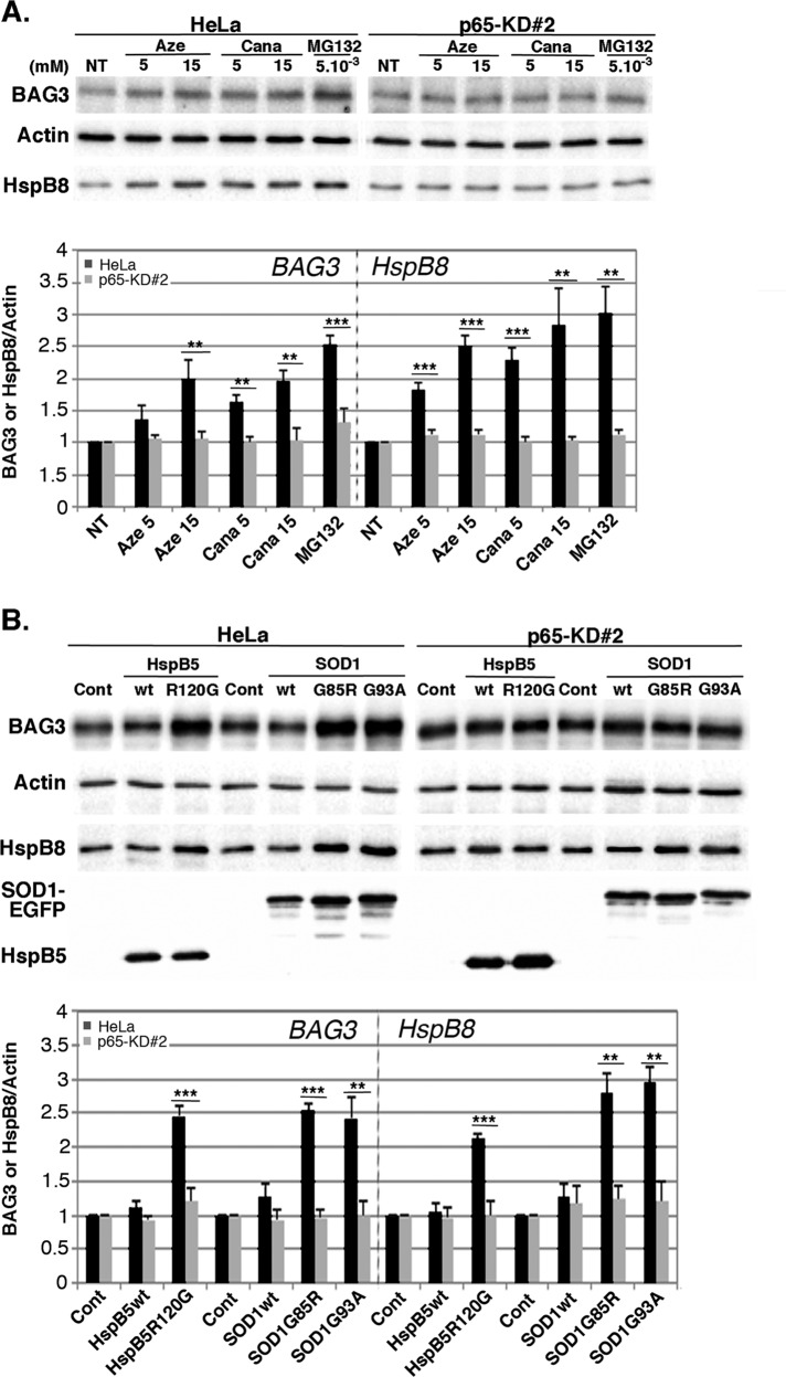 NFκB up-regulates BAG3 and HspB8 expression after various protein aggregation stresses. (A) Control (HeLa) and p65-depleted (p65-KD#2) cell lines were either untreated (NT) or treated with 5 and 15 mM azetidine (Aze) and canavanine (Cana) or 5 μM <t>MG132</t> for 6 h. At 16 h after treatments, total protein extracts were prepared and analyzed by immunoblots probed with antibodies against BAG3, HspB8, and actin (as a loading control). (B) As in A, but with HeLa and p65-KD#2 cell lines transiently transfected with control plasmids (Cont) or plasmids expressing HspB5wt, HspB5R120G, SOD1wt-EGFP, SOD1G93A-EGFP, or SOD1G85R-EGFP. Analysis was performed 35 h posttransfection. Expression of HspB5 and SOD1-EGFP was checked by probing immunoblots with anti-HspB5 and anti-EGFP antibodies. BAG3 and HspB8 levels were quantified; the densitometric measurements were normalized to the corresponding actin bands, and ratios were calculated between HeLa or p65-KD#2-treated cells vs. nontreated counterparts and are reported in the graphs ( n = 3).