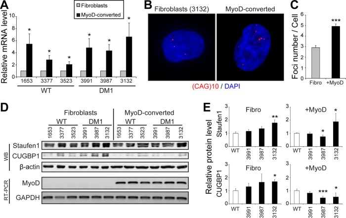 MyoD-conversion induces DMPK expression and aggregation in DM1 cells. (A) Relative quantification of DMPK mRNA levels in fibroblasts and MyoD-converted myoblasts as determined by qRT-PCR. Three independent experiments. (B) FISH of control human DM1 primary fibroblasts and MyoD-converted myoblasts (GM03132, 1700 CTG) using a Cy3-(CAG)10 probe. (C) Quantifications of FISH experiments. From 40 to 57 random cells/condition were analyzed. (D) Top, Western blots showing Staufen1 and CUGBP1 protein levels in wild-type and DM1 fibroblasts and MyoD-converted myoblasts. β-Actin was used as a loading control. Bottom, relative quantification of MyoD mRNA levels as determined by RT-PCR. GAPDH was used to show equal loading. (E) Quantifications of Staufen1 and CUGBP1 levels normalized to GAPDH. Three or four independent experiments. Student's t tests were used, and asterisks indicate significance (* p ≤ 0.05, ** p ≤ 0.01, and *** p ≤ 0.001).