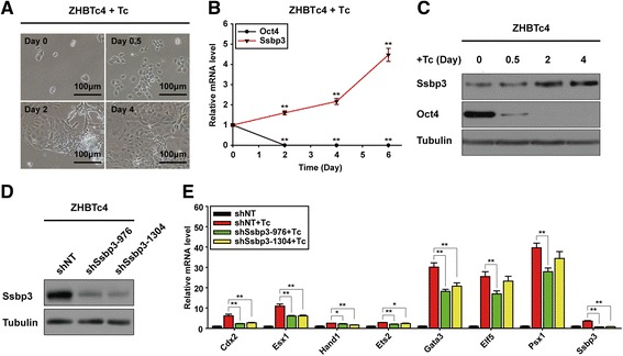 Ssbp3 depletion attenuates the activation of trophoblast gene expression induced by downregulation of Oct4 in mouse ESCs. a The morphology of ZHBTc4 cells after treatment with Tc. Differentiation was triggered by Tc-mediated downregulation of Oct4. b Expression levels of Ssbp3 during differentiation of the ZHBTc4 cell line were determined by qRT-PCR analysis. The average mRNA level in ZHBTc4 cells cultured without Tc was set at 1.0. Data are shown as mean ± SD ( n = 3). * p