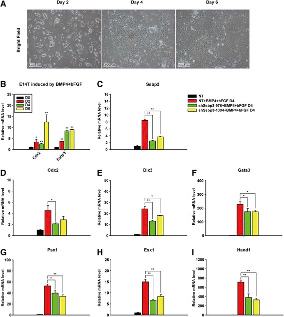 Ssbp3 depletion weakens the trophoblast gene expression induced by BMP4 and bFGF treatment in ESCs. a The morphology of E14T cells after treatment with bone BMP4 and bFGF at the indicated time points. b Expression levels of Ssbp3 gradually increased in E14T cells treated with BMP4 and bFGF. The expression levels of Ssbp3 were determined by qRT-PCR analysis. The average mRNA level in E14T cells cultured without treatment was set at 1.0. Data are shown as mean ± SD ( n = 3). * p