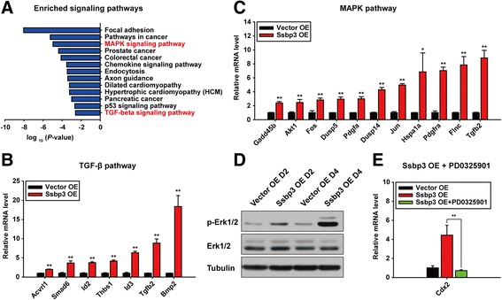 Ssbp3 overexpression activates MAPK/Erk1/2 and TGF-β pathways. a Significantly enriched signaling pathways of all DEGs upon overexpression of Ssbp3 by KEGG pathway analysis. b , c qRT-PCR analysis for expression levels of upregulated genes related to MAPK/Erk/1/2 and TGF-β pathways in Ssbp3-overexpressing ESCs. The average mRNA level in cells transfected with the control vector was set at 1.0. Data are shown as mean ± SD ( n = 3). * p