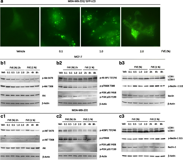FVE-induced autophagy. a Accumulation of GFP-LC3 punctate vesicles in MDA-MB-231 cells. (b1 and c1) FVE reduced Akt phosphorylation at Ser473 and Thr308 in MCF-7 and MDA-MB-231 cells. (b2 and c2) FVE decreased PI3K, 4-EB-P1 and p70S6K phosphorylation in MCF-7 and MDA-MB-231 cells. (b3 and c3) FVE promoted accumulation of phospho-Beclin 1 and LC3B II in MCF-7 and MDA-MB-231 cells