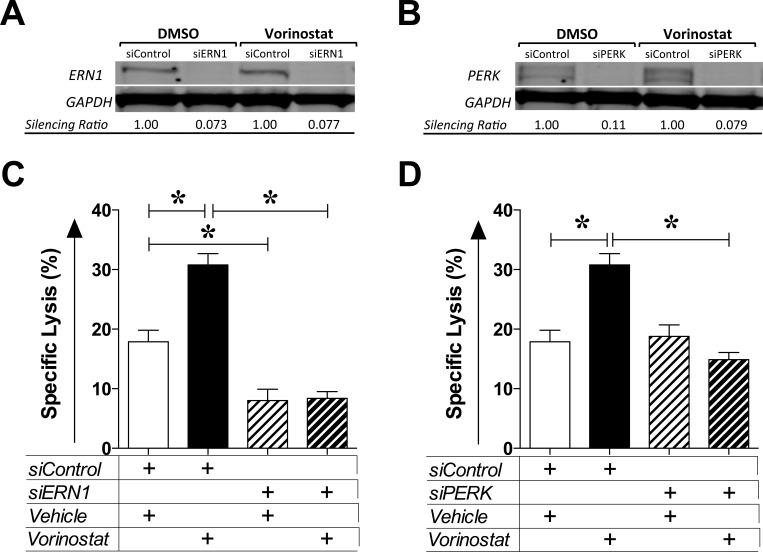 Vorinostat-induced immunogenic modulation is mediated by the unfolded protein response MDA-MB-231 cells were exposed to siRNA control or targeting ERN1 or PERK for 24 h prior to being exposed to vehicle (DMSO) or vorinostat (3 μM) as described in Materials and Methods. A. and B. At the end of treatment, total cell lysates were examined by Western blotting to determine expression of ERN1 (A) or PERK (B). GAPDH was used as internal control for total protein levels. Silencing ratio denotes target protein expression relative to GAPDH, further normalized to protein levels after treatment in the presence of silencing RNA control. C. and D. At the end of treatment, MDA-MB-231 cells were used as targets in a CTL lysis assay using CEA-specific CD8 + T cells as effectors (E:T = 30:1). Results are presented as mean ± S.E.M. from 6 replicate wells, and are representative of 2-3 independent experiments. Asterisks denote statistical significance relative to controls ( P
