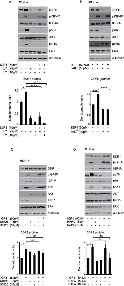 IGF-I dependent DDR1 protein upregulation is downstream the PI3K/AKT pathway and does not require activation of the ERK1/2 and the mTOR pathways MCF-7 cells grown with serum stripped 2.5% of FCS for 24 h, were pretreated with various kinase inhibitors at the indicated doses for 1 h. Cells were then stimulated with 50 nM IGF-I for 24 h, lysed and analyzed by western blotting to evaluate DDR1 protein expression. ( A ) Cells treated with the PI3K inhibitor LY294002 (LY), and ( B ) the AKT inhibitor1/2 (iAKT). ( C ) Cells treated with the MEK1 inhibitor U0126, and ( D ) with the <t>TORC1</t> inhibitor <t>Rapamycin</t> (Rapa). Immunoblot for α-tubulin was used as control for protein loading. Each blot shown is representative of three independent experiments. Values are mean ± SEM of three separate experiments. * P