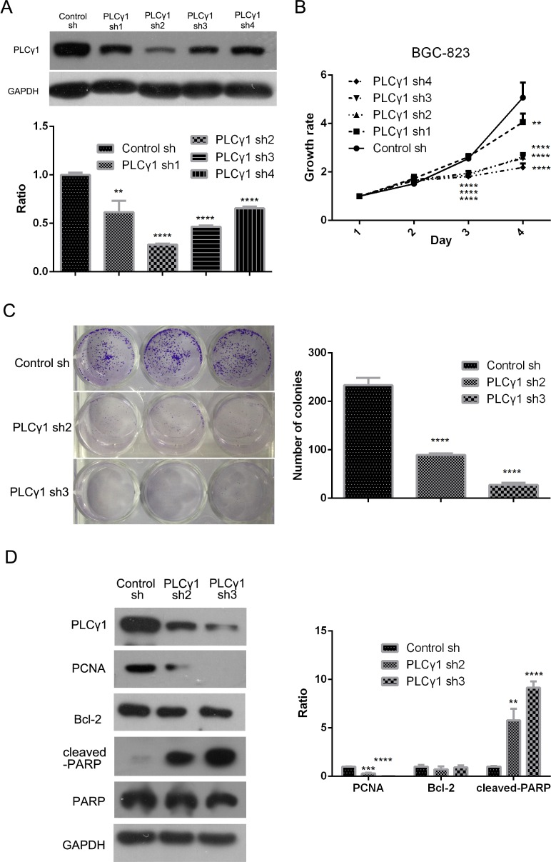 Lentivirus-mediated PLCγ1 shRNA could block proliferation in human gastric adenocarcinoma BGC-823 cells BGC-823 cell line of stable expressing PLCγ1shRNA was established with the transduction of four types PLCγ1shRNAs using a lentiviral transduction strategy. ( A ) The effect of PLCγ1shRNAs on the level of PLCγ1 protein was detected with Western blotting analysis as described in Materials and Methods. ( B ) The effect of PLCγ1shRNAs on cell growth rate was measured with MTT assay as described in Materials and Methods. ( C ) The effect of PLCγ1 shRNA2/3 on cloning formation was detected with Colony formation assay as described in Materials and Methods. ( D ) The levels of PCNA, cleaved-PARP, PARP, Bcl-2, PLCγ1, and GAPDH protein were detected with Western blotting analysis as described in Materials and Methods. Data are reported as means ± S.D. of three independent experiments (** P
