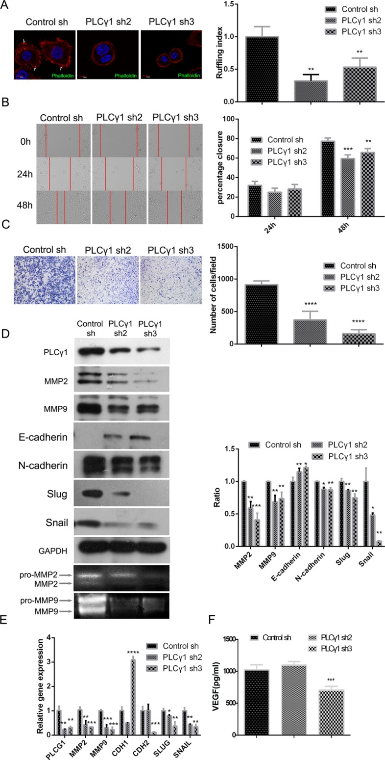 Lentivirus-mediated PLCγ1 shRNA could suppress migration in human gastric adenocarcinoma BGC-823 cells Cells were transduced with lentivirus-mediated PLCγ1 shRNA2/3 vectors. ( A ) The formation of membrane ruffles was detected using Ruffling assay as described in Materials and Methods. The cell nuclei were stained DAPI (blue) and the membrane ruffles were stained rhodamine-conjugated phalloidin (red). Scale bar = 10 μm. ( B and C ) The migration ability was measured using Transwell assay (B, magnification × 100) and Scratch assay (C, magnification × 400) as described in Materials and Methods. ( D ) The protein levels of MMP2, <t>MMP9,</t> E-cadherin, N-cadherin, snail, slug, and <t>GAPDH</t> were detected with Western blotting analysis, and the pro and active forms of MMP2/9 were observed using gelatin zymography assay as described in Materials and Methods. ( E ) The mRNA levels of PLCG1, MMP2, MMP9, CDHI, CDH2, SNAIL, SLUG, and GAPDH were detected using Real-time PCR analysis as described in Materials and Methods. ( F ) The level of VEGF in extracellular matrix was detected using ELISA as described in Materials and Methods. Data are reported as means ± S.D. of three independent experiments (* P