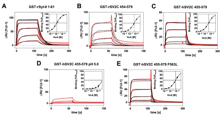 SPR-sensorgrams of the interaction of recombinant H C B with: GST–rSyt-II 1–61 ( A ); recombinant H C A with GST-rSV2C 454–579 ( B ); GST-hSV2C 455–579 ( C ); GST-hSV2C 455–579 at pH 5.0 ( D ); or GST-hSV2C 455–579 F563L ( E ) (Inserts: Fits for determination of steady-state affinity). The measured double referenced binding responses (ΔRU; red lines) are overlaid with fits of a 1:1 Langmuir interaction (black lines). For measurements of GST-rSV2C at pH 7.3 ( B ) and GST-hSV2C at pH 5.0 ( D ), kinetic evaluation was omitted due to heterogeneity in the binding curves (( B ) dashed lines: fit for 1:1 Langmuir interaction shows clear deviations) or too low binding responses (( D ) no fit shown). H C A and H C B were injected in three-fold dilution series starting from 1200 nM down to 14.8 nM. The highest H C concentration was injected in duplicates except for GST-rSV2C 454–579 and GST-hSV2C at pH 5.0.