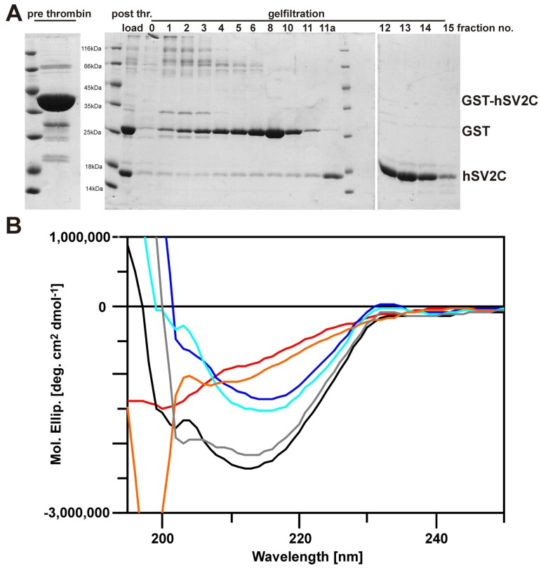 CD secondary structure analyses of free and bound hSV2C peptide. ( A ) GST-hSV2C 455–579 was quantitatively digested with thrombin and the released hSV2C peptide (15.6 kDa) was isolated by gelfiltration (fractions 11a–15). ( B ) Far-UV CD spectra of free hSV2C peptide (5 µM; red trace), free H C AS (8 µM, dark blue) and a 1:1 mixture of hSV2C-H C AS (5 µM; black). Arithmetic addition of spectra of free hSV2C (red) and free H C AS (dark blue) yields a spectrum (grey) similar to that of the hSV2C-H C AS mixture (black). Accordingly, subtraction of CD signal of either hSV2C (light blue) or H C AS (orange) from that of the hSV2C-H C AS mixture yielded spectra similar to that of the corresponding free protein.