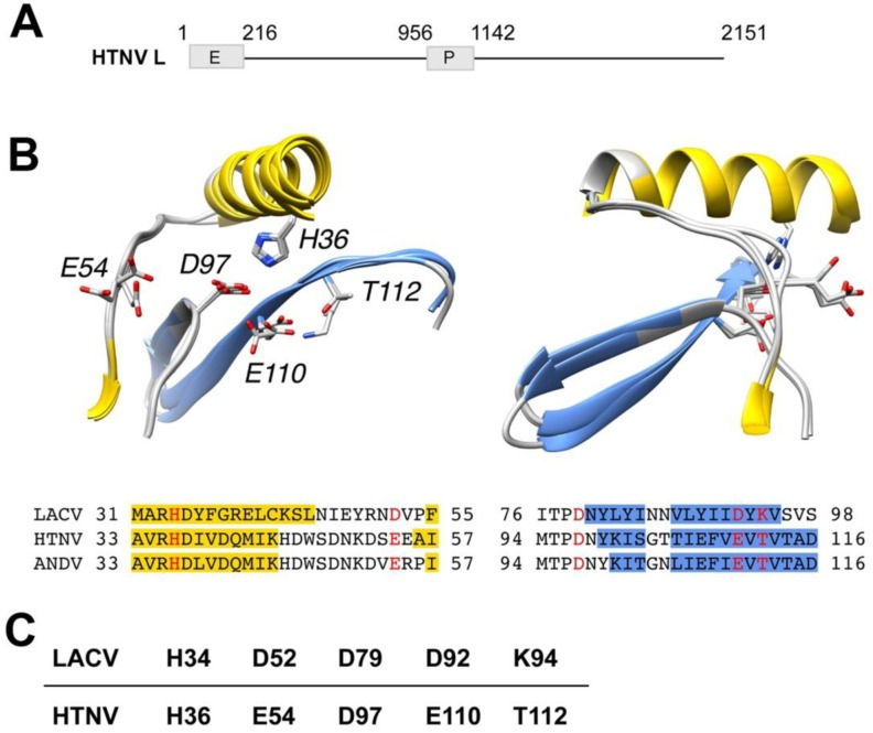 Model of the putative active sites of prototypic Hantaan virus (HTNV) and Andes (ANDV) superposed on the active site of orthobunyavirus La Crosse (LACV). ( A ) Schematic representation of HTNV L protein. The L segment of the prototypic HTNV strain 76/118 has 6533 nucleotides and encodes the L protein of 2151 amino acids (aa). HTNV L contains a polymerase (P) domain (aa 956–1142) and a putative endonuclease (E) domain (aa 1–216). ( B ) Models of the putative active sites of HTNV and ANDV superposed on the active site of LACV. Ribbon diagrams of LACV (PDB entry 2XI5), HTNV and ANDV after structural superposition of key active site residues. Secondary structure classifications was calculated using definition of secondary structure proteins (DSSP) [ 33 ] for LACV or predicted using the method/program PSI-PRED [ 34 ]. Helix residues have been colored yellow and β-strand residues have been colored blue in the ribbon diagrams as well as in the alignment, according to DSSP or PSI-PRED results, respectively. Annotations in ribbon diagrams follow the HTNV residue numbering in the alignment. Key residues are colored red in the alignment and shown with side chains in the ribbon diagrams. The ribbon diagrams to the right have been rotated 90 degrees around the vertical coordinate axis. ( C ) Amino acid residues of the active site of HTNV L endonuclease derived from the model in ( A ).