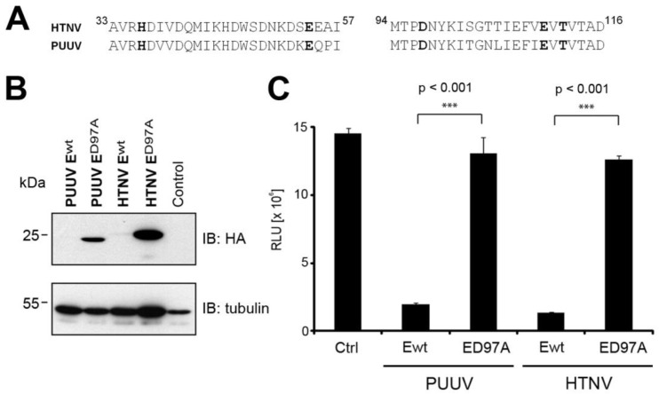 Puumala virus (PUUV) L protein possesses a functional endonuclease domain. ( A ) Sequence alignment of the N-terminal domains of <t>HTNV</t> and PUUV L protein. ( B ) BSR T7/5 cells were transfected with wt or D97A PUUV and <t>HTNV</t> L protein N-terminal constructs along with an NLuc reporter control plasmid. Cells were lyzed 48 hours post-transfection. Proteins were separated by SDS-PAGE and transferred on membranes for immunoblotting. ( C ) NLuc activity was measured using the Nano Glow ® Luciferase Assay System (Promega). Data are expressed as mean ± SD ( n = 3) and were analyzed by one-way ANOVA with p-values indicated.