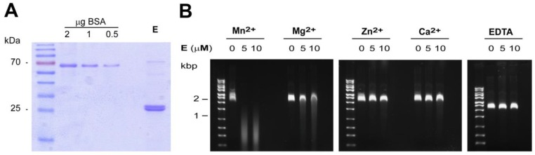 In vitro analysis of HTNV endonuclease. ( A ) The N-terminal 220 residues of HTNV L protein were expressed in E. coli and purified using TALON ® metal affinity resin as described in the methods section. A fraction of the purified material was separated by SDS-PAGE and stained with Coomassie blue. ( B ) Divalent cation-dependent nuclease activity. Single-stranded M13mp18 DNA (25 ng/μL) was incubated at 37 °C during 60 min in presence of 0, 5 or 10 μM of purified HTNV N-terminal domain and 2 mM of the indicated divalent cations, or 10 mM ethylenediaminetetraacetic acid (EDTA).