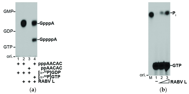 The RABV L protein generates the mRNA cap structure by an unconventional mechanism: ( a ) The recombinant RABV L protein (0.1 μg) was incubated with the indicated substrates under the standard conditions for the VSV L protein. Nuclease P 1 -digests of RNA products were analyzed by thin layer chromatography on a <t>polyethyleneimine-cellulose</t> plate (PEI-cellulose TLC), followed by autoradiography. The positions of the origin (ori.), guanosine nucleotides (GMP, GDP, GTP), and cap structures (GpppA, GppppA) are shown; ( b ) The recombinant RABV L protein (lane 2, 0.1 μg; lane 3, 0.2 μg) was incubated with [γ- 32 P]GTP. The reaction mixtures were analyzed by PEI-cellulose TLC followed by autoradiography. Lane 1 indicates no enzyme. Lane M shows the position of 32 P-labeled inorganic phosphate (P i ), which was generated by digestion of [γ- 32 P]GTP with alkaline phosphatase.