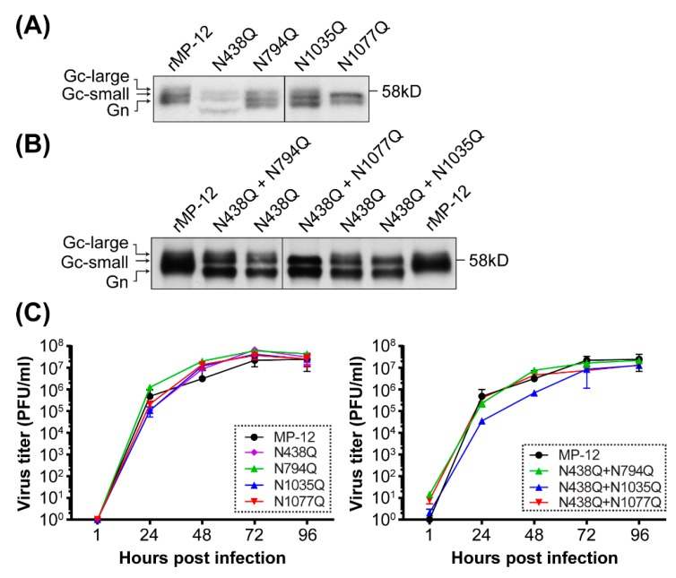 Generation of recombinant MP-12 encoding asparagine (N)-to-glutamine (Q) mutation(s) in Gn/Gc sequons. The Gn/Gc migration patterns of rMP-12, or that encoding N-to-Q mutation either in Gn or Gc (N438Q, N794Q, N1035Q, and N1077Q mutants) ( A ) or that encoding N-to-Q mutations both in Gn and Gc (N438Q/N794Q, N438Q/N1035Q, and N438Q/N1077Q mutants) ( B ). Vero E6 cells were infected with rMP-12 or the mutants at a multiplicity of infection (MOI) of 0.1 to 3, and metabolically labeled with [ 35 S] methionine/cysteine from 1 to 16 hours post infection (hpi). The cleared culture supernatants were subjected to immunoprecipitation using anti-Rift Valley fever virus (RVFV) antibody. Precipitated virions were analyzed by 7.5% sodium dodecyl sulfate- polyacrylamide gel electrophoresis (SDS-PAGE) and autoradiography. Gc-large: slow migrating Gc; Gc-small: fast migrating Gc; ( C ) Virus growth kinetics in Vero cells. Vero cells were infected with indicated rMP-12 mutants at an MOI of 0.01. Virus titers were determined at 1, 24, 48, 72 and 96 hpi. Means +/− standard deviations of three independent experiments are shown.
