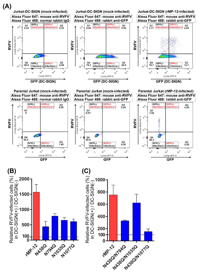Infectivity of recombinant MP-12 encoding a glutamine (Q) in place of an asparagine (N) at N-X-S/T sequon(s) in Gn or Gc. ( A ) Jurkat-DC-SIGN cells stably co-expressing green fluorescent protein (GFP) and human DC-SIGN (~17% in cell population) (top panels), or parental Jurkat cells, which express neither DC-SIGN nor GFP (bottom panels), were mock-infected (left and center panels) or infected with rMP-12 (right panels) at a multiplicity of infection (MOI) of 3.6. At 6 hpi, cells were fixed, permeabilized, and then stained with a cocktail of mouse anti-RVFV antibody and <t>Alexa</t> Fluor 488-conjugated rabbit anti-GFP antibody, or a cocktail of mouse anti-RVFV antibody and Alexa Fluor 488-conjugated normal rabbit <t>IgG.</t> Subsequently, cells were stained with Alexa Fluor 647-conjugated goat anti-mouse IgG, and analyzed by flow cytometry. Since permeabilized Jurkat-DC-SIGN cells showed poor intrinsic GFP signals, as shown with Alexa Fluor 488-conjugated normal rabbit IgG (left top panel), rabbit anti-GFP antibody (center and right top panels) was used to detect GFP signals of permeabilized Jurkat-DC-SIGN cells. Q1, GFP-negative (DC-SIGN-negative) and RVFV-infected cell population; Q2, GFP-positive (DC-SIGN-positive) and RVFV-infected cell population; Q3, GFP-positive (DC-SIGN-positive) and uninfected cell population; Q4, GFP-negative (DC-SIGN-negative) and uninfected cell population; ( B , C ) Jurkat-DC-SIGN cells were infected with rMP-12 or that lacking one ( B ) or two sequons ( C ). Relative number of RVFV-infected cells in the GFP-positive cell population (Q2/(Q2+Q3)) normalized to that of RVFV-infected cells in the GFP-negative cell population (Q1/(Q1+Q4)) are shown. Graphs represent mean + standard deviations for three independent experiments.