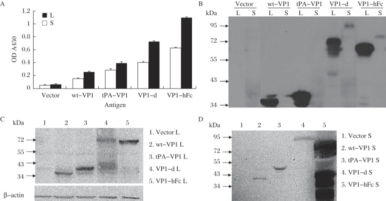 The expression and secretion of VP1 DNA vaccines. Mouse monoclonal VP1 antibody was used as the primary antibody (at a dilution of 1:1,000). HRP-conjugated goat anti-mouse IgG was diluted to 1:10,000. A: ELISA. Lysates (L, at a dilution of 1:10) and supernatants (S, at a dilution of 1:5) were used as antigens to coat the wells. The results represent the data from 3 biological replicates and are expressed as the mean ± SD (standard deviation). B: Western blotting assay: 20 μL original lysates or supernatants were loaded in each lane. The molecular weights of the proteins are as follows: wt-VP1 L ~35kD, tPA-VP1 L ~38kD, VP1-d L ~71kD and VP1-hFc L ~62kD. The molecular weights of the secreted proteins in the supernatant are greater than the corresponding intracellular forms due to protein glycosylation. To compare the protein expression levels of the different VP1 constructs and to determine if wt-VP1 and tPA-VP1 could be secreted, equal amounts of the 4 VP1 constructs were transfected into 293T cells. Lysates (L) and supernatants (S) of transfected cells were harvested and assayed using identical conditions. C: Comparison of the protein levels in the lysates. Twenty μL lysates were loaded in each lane. Anti-beta-actin monoclonal antibody was diluted 1:500. D: Detection of protein in the supernatants. Forty mL of supernatant from transfected cells was concentrated to 1 mL; 10 μL of the concentrated supernatants was analyzed by Western blotting.