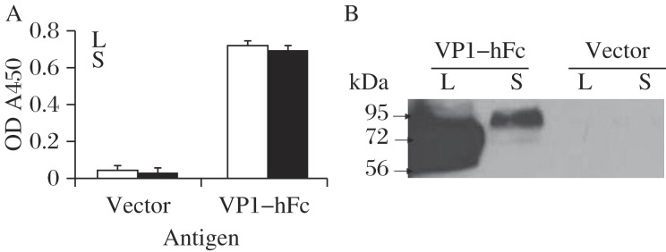 Detection of the expression of VP1-hFc protein. The primary antibody used to detect VP1-hFc protein was rabbit anti-human IgG Fc (H+L) used at a dilution of 1:3,000. HRP-conjugated goat anti-rabbit IgG was diluted to 1:10,000. L: lysates, S: supernatants. A: ELISA. Lysates were diluted to 1:10, and supernatants were diluted to 1:5. The results represent the data from 3 biological replicates and are expressed as the mean ± SD. B: Western blotting assay. 20 μL lysates or supernatants was loaded in each lane.