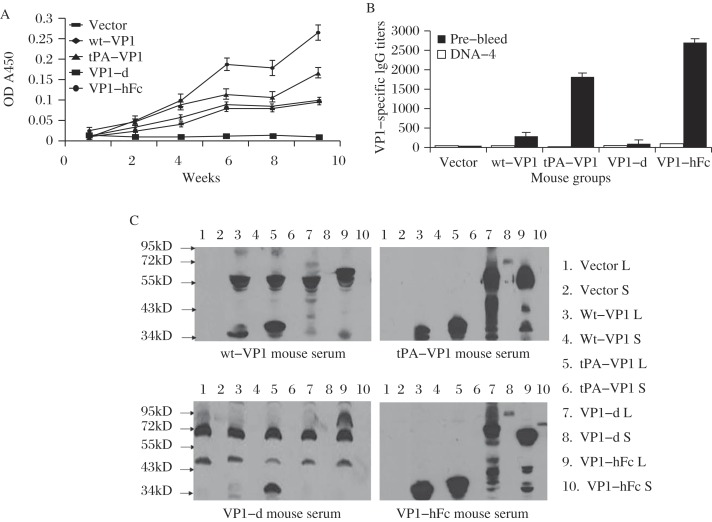 The immunogenicity of VP1 DNA vaccines in BALB/c mouse. One hundred μL EV71 VP1 protein (50 μg/L) was used to coat the wells to analyze the mouse sera for immunization (at a dilution of 1:200). HRP-conjugated goat anti-mouse IgG was diluted to 1:5,000. A: Temporal VP1-specific antibody responses in mouse immune sera. The arrows indicate the time points of DNA immunizations. Each curve represents the antibody response of 5 mice in the same group (average OD values with the associated SD). B: Peak level antibody titer in the mouse sera (average OD values with the associated SD). C: Western blotting assay of VP1 constructs. 20 μL of lysates (L) or supernatants (S) was added in each lane. Mouse sera immunized with different VP1 DNA vaccines were diluted to 1:200. HRP-conjugated goat anti-mouse IgG was diluted to 1:10,000.