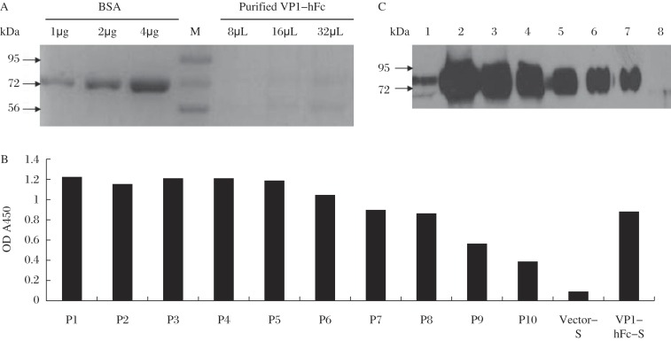 Detection of purified VP1-hFc protein. Primary antibody used to detect VP1-hFc protein was wt-VP1-immunized rabbit serum (at a dilution of 1:500). HRP-conjugated goat anti-rabbit IgG was diluted to 1:10,000. A: SDS-PAGE analysis of purified VP1-hFc protein. All of the purified VP1-hFc proteins were mixed and concentrated to 1 mL for SDS-PAGE analysis. Different amounts of the protein samples (8 μL, 16 μL and 32 μL; initial concentration of 0.16 μg/μL) were detected. Different amounts of BSA (1 μg, 2 μg and 4 μg) were added as a semi-quantitative gauge. B: ELISA. P1 represents 1 μg of purified and concentrated VP1-hFc protein (0.16 μg/μL) in 100 μL of PBS. Then, P1 was serially diluted 2-fold (P2-P10). Vector-S and VP1-hFc-S represent the original supernatants diluted to 1:5. C: Western blotting assay. Lane 1 shows 20 μL of the original VP1-hFc-S; Lanes 2-7 indicate 40 μL, 20 μL, 10 μL, 5 μL, 2.5 μL and 1.25 μL of purified VP1-hFc protein, respectively (0.16 μg/μL); Lane 8 shows 20 μL of protein expressed from the original vector-S.