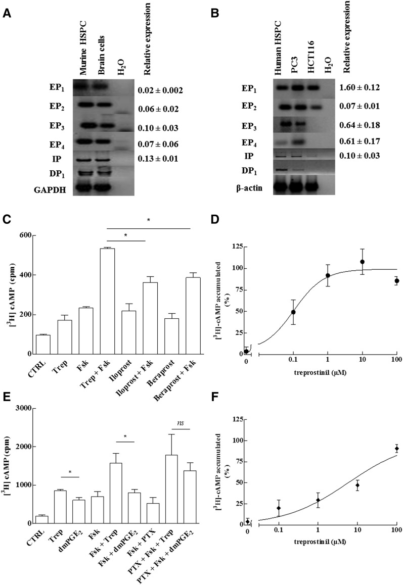 Prostanoid receptor expression (A, B) and stimulation of cAMP accumulation (C–F) in murine and human HSPCs. (A, B) RNA was isolated from murine (A) and human HSPCs (B) and reverse transcribed. RNA prepared from murine brain cells (mixed culture of neurons and glial cells) and the human prostate cancer cell lines PC3 and HCT116 served as positive controls. PCR-dependent amplification was done using primers listed in Table 1 . Amplicons for all E prostanoid receptors (EP 1–4 , IP, and DP 1 ) were electrophoretically resolved on an agarose gel and visualized by ethidium bromide staining. The lane labeled H 2 O denotes the control, where the amplification was done in the absence of prior reverse transcription. The mRNA encoding glyceraldehyde-3-phosphate dehydrogenase (GAPDH) was amplified as internal reference. Quantitative PCR was performed using Maxima SYBR Green/ROX qPCR Master Mix (2×) and equal amounts of cDNAs and primers. Human and murine HPRT1 was used as reference gene for normalization of qPCR experiments. Each reaction condition was performed in triplicate. Relative abundance was calculated using the 2 –ΔCt method (gene-specific expression level relative to that of the endogenous reference gene HPRT1, which was set at 1). We failed to identify a primer pair capable of amplifying murine DP1 receptor transcripts with an efficiency close to 100%; accordingly, the quantification of DP1 receptor transcripts is not shown. (C–F) The cAMP response of murine (C, D) and CD34 + human HSPCs (E, F) was determined after metabolic labeling of the adenine nucleotide pool with [ 3 H] adenine. In some instances (PTX), cells were concomitantly also preincubated with pertussis toxin (100 ng ml −1 ) for 16 hours. (C) Murine HSPCs were stimulated with treprostinil (10 μ M; Trep), iloprost (30 μ M), beraprost (30 μ M), and forskolin (30 μ M; Fsk) or the combination of indicated agonists and forskolin (30 μ M). In the presence of 10 μ M treprostinil, 30 μ M forskolin was more effic