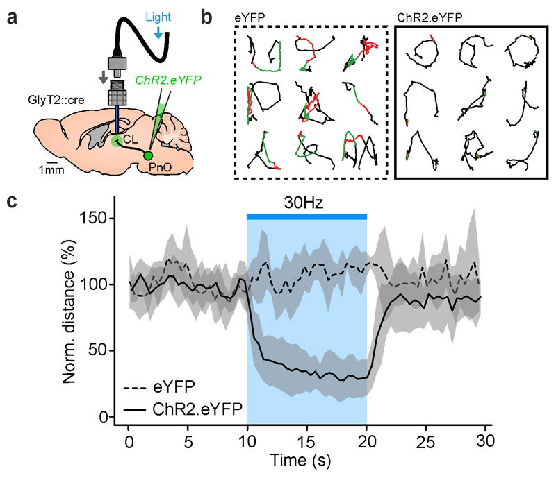 Activation of glycinergic afferents interrupts ongoing behavior activity. a) Experimental design. b) Mice trajectory during the 1 st (red) and 2 nd (green) 5 s of optogenetic activation of GlyT2 fibers in the IL and during laser light shut off (black lines), in control (eYFP, left) and experimental (ChR2-eYFP, right) conditions. c) Average movement of control (dashed trace) and optogenetically activated (continuous trace) mice before, during (blue bar) and after stimulation. Error bars represent the s.e.m.