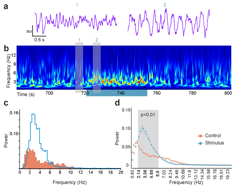 Activation of glycinergic afferents interrupts ongoing cortical activity. a) Representative standardized frontal cortical LFP traces before (1) and during (2) the optogenetic activation of GlyT2 fibers in the IL. b) Wavelet spectrum of the cortical LFP showing the 33 s long activation period together with pre- and post-illumination period. Grey bars indicate the position of LFP samples in (a). Warm colors indicate higher power. c) Power spectra of the cortical LFPs in the 30 s preceding the stimulation (orange) and during photoactivation (blue) of the GlyT2 fibers in IL. d) Statistical comparison of the power spectra of the stimulated and control periods in one representative animal (n=25 stimulations). Gray bar indicates the frequency range which displayed statistically significant difference (2.14 Hz - 5.8 Hz, Mann-Whitney U test). In this range the highest p value was 0.00226 at 5.8 Hz (W=457). All other p values were lower. Error bars represent the s.e.m. au arbitrary unit.