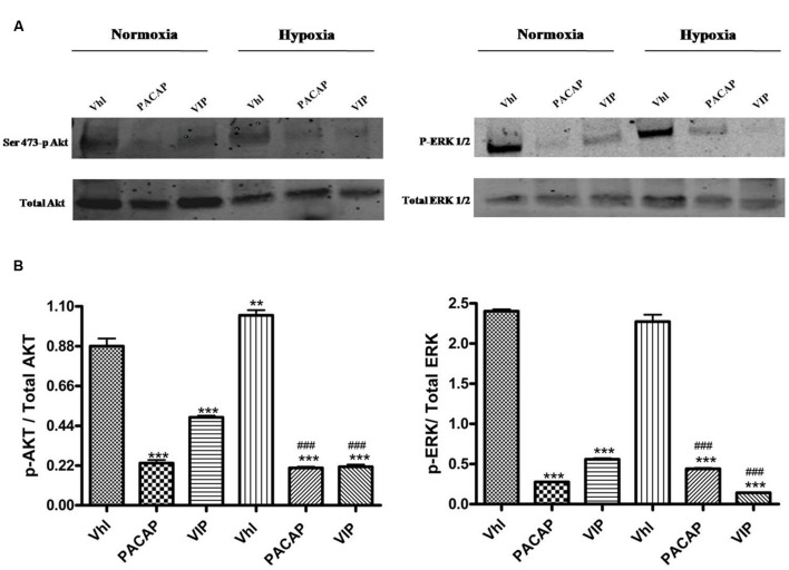 Phosphorylation of AKT and ERK1/2 in U87-MG cells under normoxia and hypoxia. (A) Representative immunoblots of Ser473-p Akt or p-Erk1/2 expression on U87MG cells treated with PACAP or VIP under normoxia or hypoxia. (B) The bar graphs show quantitative analysis of signals obtained by immunoblots resulting from three independent experiments. Relative band densities were quantified by using ImageJ software. Each signal of phosphorylated protein was normalized to total protein expression. Data are expressed as mean ± SEM (** p