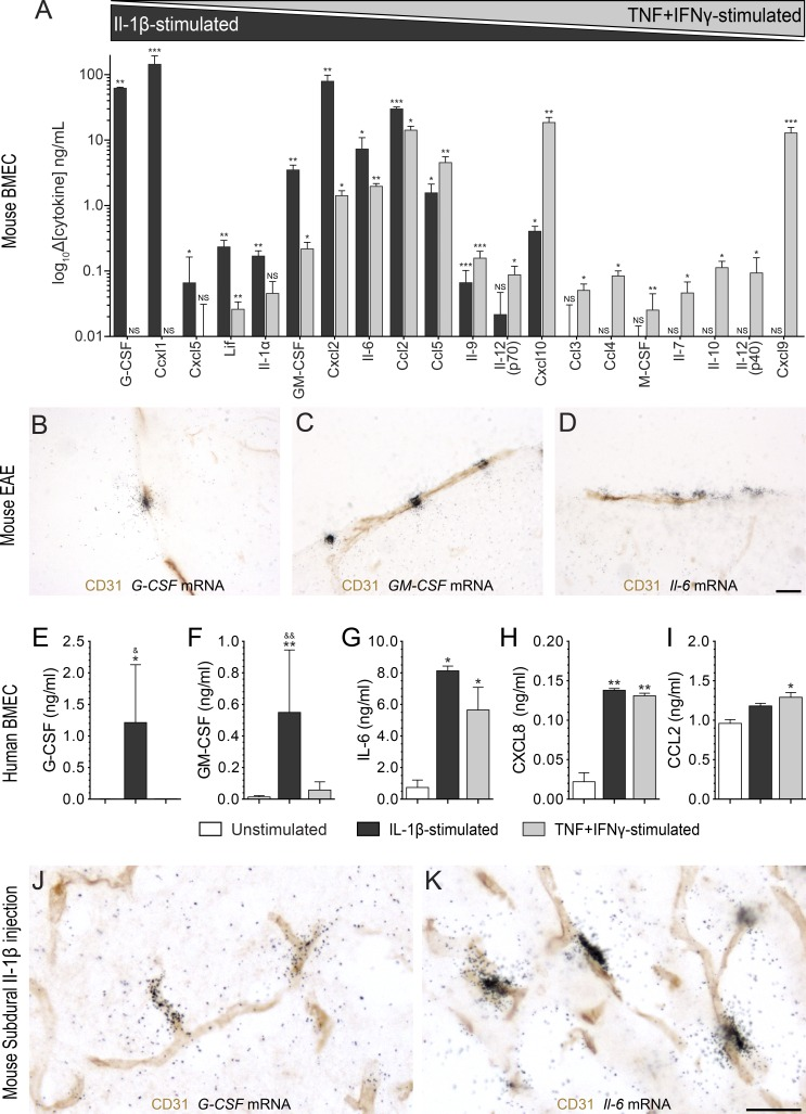 IL-1β drives a cytokine/chemokine expression profile in mouse and human blood–brain barrier/BSCB ECs predicted to favor neutrophil and monocyte activities. (A) Cytokine levels in conditioned media collected from primary BMECs treated with IL-1β or TNF + IFN-γ as measured using a multiplex ELISA cytokine/chemokine array. Differences compared with the control condition, i.e., culture medium in the absence of cytokine treatment, are expressed in ng/ml for cells stimulated with either 10 ng/ml of recombinant mouse IL-1β (black bars; n = 3) or a combination of TNF and IFN-γ (gray bars; n = 3). (B–D) The combination of immunohistochemistry for the endothelial marker CD31 with ISH for the detection of G-CSF (B), GM-CSF (C), and Il-6 (D) mRNAs in the spinal cord of C57BL/6 mice at EAE onset is shown ( n = 4). (E–I) Cytokines released by primary human BMECs after treatment with either 10 ng/ml of recombinant human IL-1β (black bars) or 100 U TNF + IFN-γ (gray bars). Levels of G-CSF (E) GM-CSF (F), IL-6 (G), CXCL8 (H), and CCL2 (I) are means ± SEM of experiments from two to five different primary cultures. (J and K) Immunohistochemistry against endothelial CD31 was combined with ISH for G-CSF (J) and Il-6 (K) mRNAs in spinal cord tissue sections from C57BL/6 mice ( n = 4/group) that received a single subdural injection of recombinant IL-1β (J and K) or saline (not depicted). *, P
