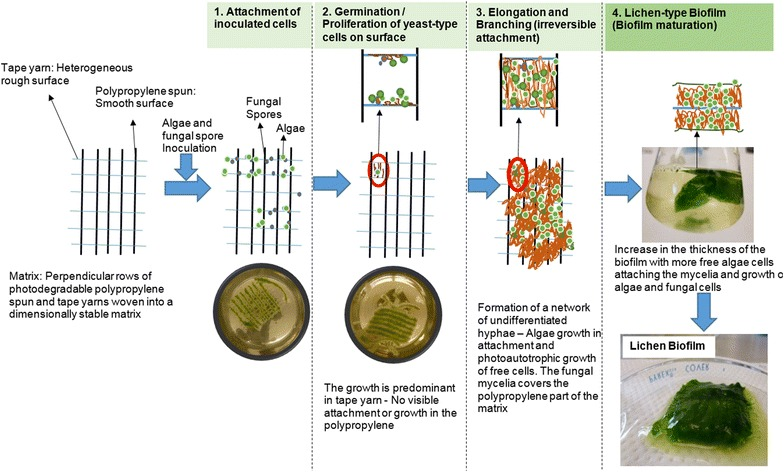 Possible mechanism and stages of algae–fungal cell attachment and proliferation of the mycoalgae biofilm