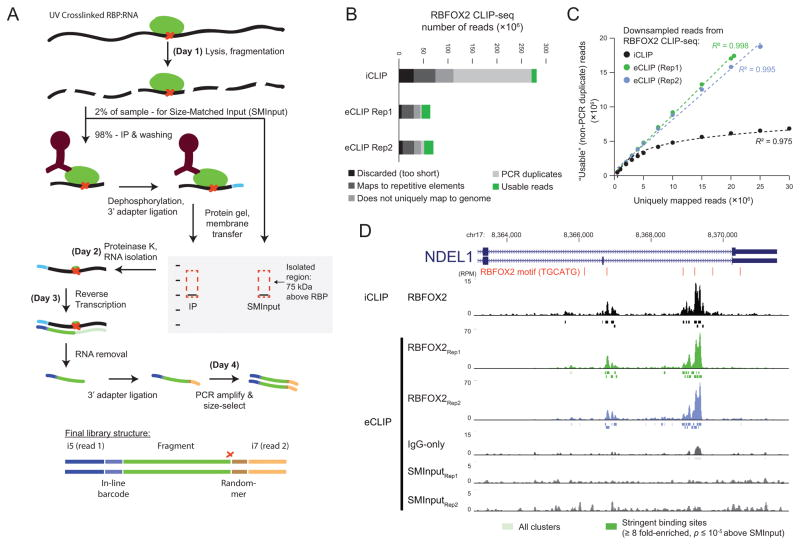 "Improved identification of RNA binding protein (RBP) targets by enhanced C ross L inking and I mmuno P recipitation followed by high-throughput sequencing (eCLIP-seq) (a) RBP-RNA interactions are stabilized with UV crosslinking, followed by limited RNase I digestion, immunoprecipitation of RBP-RNA complexes with a specific antibody of interest, and stringent washes. After dephosphorylation of RNA fragments, an ""inline barcoded"" RNA adapter is ligated to the 3′ end. After protein gel electrophoresis and nitrocellulose membrane transfer, a region 75 kDa (~220 nt of RNA) above the protein size is excised and proteinase K treated to isolate RNA. RNA is further prepared into paired-end high-throughput sequencing libraries, where read 1 begins with the inline barcode and read 2 begins with a random-mer sequence (added during the 3′ DNA adapter ligation) followed by sequence corresponding to the 5′ end of the original RNA fragment (which often marks reverse transcriptase termination at the crosslink site (red X)). (b) Bars indicate the number of reads remaining after processing steps. PCR duplicate reads that map to the same genomic position and have the same random-mer as previously considered reads are discarded, leaving only ""Usable reads"". (c) Varying numbers of uniquely mapped reads were randomly sampled from RBFOX2 iCLIP and eCLIP experiments and PCR duplicate removal was performed. Points indicate the mean of 100 downsampling experiments (for all, s.e.m. is less than 0.1% of mean value). (d) RBFOX2 read density in reads per million usable (RPM). Shown are iCLIP, two biological replicates for eCLIP with paired size-matched input (SMInput) and IgG-only controls. CLIPper-identified clusters indicated as boxes below, with dark colored boxes indicating binding sites enriched above SMInput."