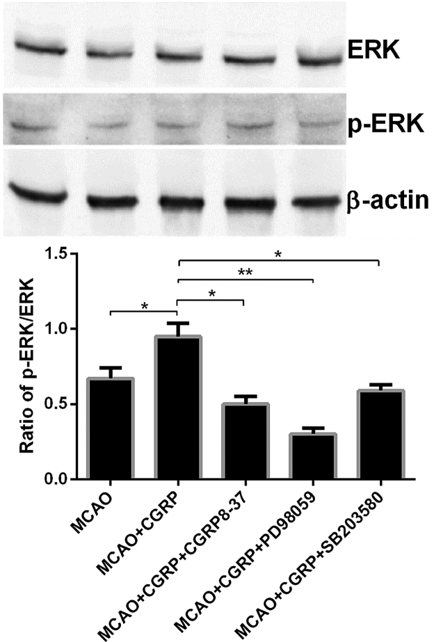Western blotting results of p-ERK/ERK in all the treatment groups. Compared to the MCAO group, the p-ERK expression level significantly increased in the brain tissues in the MCAO+CGRP group; whereas no significant change in the ERK expression was identified. Compared to the MCAO+CGRP group, the expression level of the p-ERK significantly decreased in the MCAO+CGRP+CGRP8–37, MCAO+CGRP+PD98059 and MCAO+CGRP+SB203580 groups; the largest reduction was evident in the MCAO+CGRP+PD98059 group, whereas no significant change in the expression level of the ERK protein was observed. The comparison between groups was considered to indicate significant differences, *P