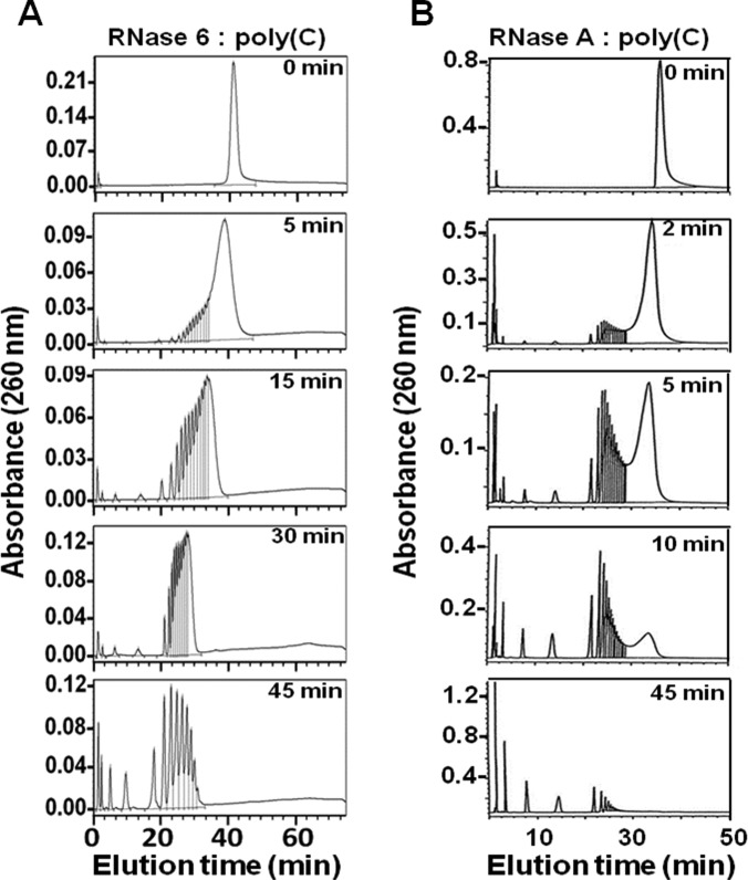 Analysis of polynucleotide cleavage pattern by RNase 6 and RNase A Poly(C) cleavage pattern obtained by RNase 6 ( A ) compared with RNase A [ 27 ] ( B ). Chromatography profiles of poly(C) digestion products are shown at selected incubation times corresponding to representative steps of the catalysis process. See the Materials and methods section for substrate digestion conditions.