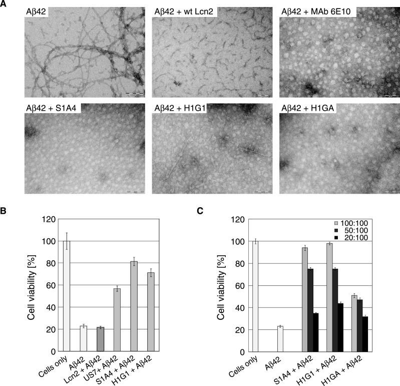 Effect of Anticalins on Aβ42 fibril formation and neuronal cytotoxicity ( A ) Macromolecular fibril formation was monitored via TEM starting from Aβ42 dissolved at 200 μM (0.9 mg/ml) in 5 mM NaOH. Subsequently, 1 volume of 20 mM Tris/HCl, pH 6.8 was added by vortex-mixing. The solution was then incubated at 4°C for 6 h without agitation, prior to dilution in RPMI-1640 cell culture medium to a final concentration of 10 μM. Aβ42 alone or in combination with equimolar concentrations of wtLcn2 (negative control), MAb 6E10 (positive control) or the Aβ-specific Anticalins S1A4, H1G1 and H1GA were incubated at 37°C for 72 h and then subjected to TEM. ( B , C ) The toxicity of Aβ42 alone or in combination with Anticalins on NGF-β differentiated PC12 cells was analysed in an MTT reduction assay. ( B ) Aβ42 was preincubated at 4°C for 6 h in a mixture of 1 volume 5 mM NaOH and 1 volume 20 mM Tris/HCl, pH 6.8 and then added at a concentration of 10 μM alone or in combination with equimolar concentrations of the Lcn2 variants to the cells. wtLcn2, S1A4 and H1G1 alone (without Aβ42) showed only minor cytotoxicity (see Figure S5C in the supplementary data section). ( C ) Anticalins with promising effects (H1GA not shown) were further analysed for their potential to support cell viability up to stoichiometric ratios in the presence of 10 μM Aβ42 (measured as in B). For each experiment, measurements of replicates were derived from different wells ( n =4–8) of a single 96-well plate from which the median was calculated. Several plates were measured on different days as independent experiments for cell viability ( n ≥ 3) from which the mean was calculated. Error bars represent standard deviations of the means.