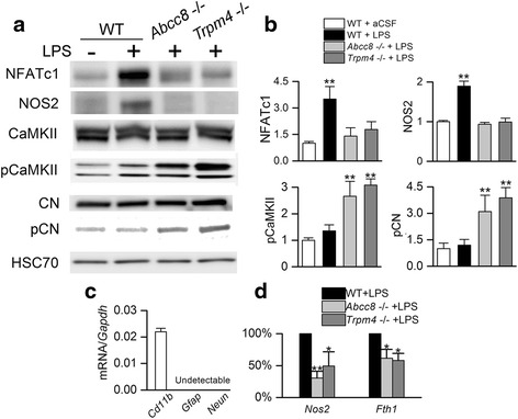 Abcc8 −/− and Trpm4 −/− protects against TLR4-mediated NOS2 induction in murine microglia. a , b Immunoblots ( a ) and quantification ( b ) for NFATc1 (90 kDa isoform shown), NOS2 (130 kDa), pCaMKII (α/β, 50/60 kDa), CaMKII (α/β, 50/60 kDa), pCN (60 kDa), and CN (60 kDa), for tissue homogenates from the striatum of wild-type ( WT ), Abcc8 −/− and Trpm4 −/− mice, 24 h after injection of aCSF (5 μL) or LPS (5 μL; 0.1 μg/μL) into the striatum; gels were run separately for each protein analyzed; quantitative data were normalized to a loading control for total protein, HSC70 ; three replicates; ** p