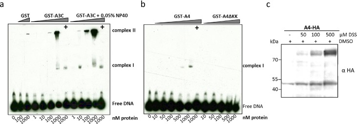 A4 interacts weakly with single-stranded DNA. EMSA with purified, GST-A3C (a), GST-A4 and GST-A4ΔKK (b) performed with 30 nt single stranded target DNA labeled with 3'-labeled with biotin. Indicated amounts of protein (at the bottom of blot) were titrated with 10 nM of DNA. (+) indicates presence of competitor DNA, which is unlabeled 80 nt DNA (200-fold molar excess), as used for deamination assay to demonstrate specific binding of protein to DNA being causative for the shift. For GST-A3C (a) a separate panel was added for reactions containing 0.05% NP-40 detergent. (c) A4-HA crosslinking by DSS. DSS was added to the cleared cell lysates to reach the indicated DSS concentrations. The blot was probed with anti HA antibody to detect monomeric and dimeric forms of A4-HA.